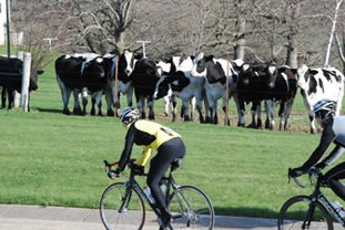 quadrupedal-bikers-cows.jpg